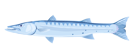 One barracuda fish in side view, high quality illustration of sea fish, realistic ray-finned fish illustration on white background