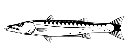 One barracuda fish l in side view in black and white color, isolated Ilustração
