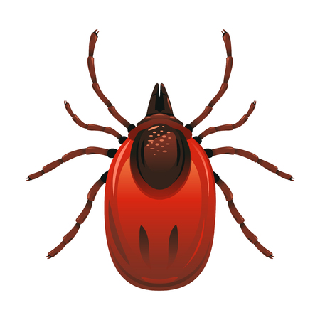 One adult mite with red body in top view, detailed illustation of dangerous insect