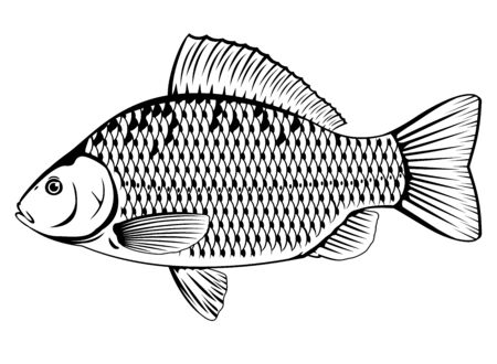 Realistic crucian carp in black and white isolated illustration, one freshwater fish on side view Ilustração