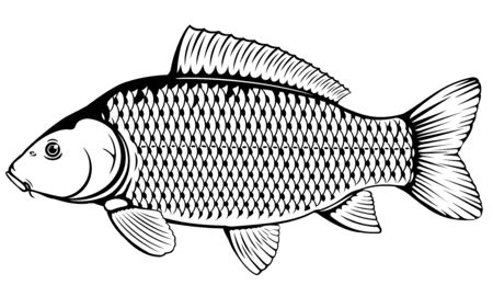Realistic common carp in black and white isolated illustration, one freshwater fish on side view
