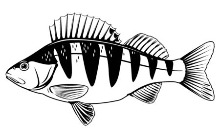 Realistic perch fish isolated illustration, one freshwater fish on side view Ilustração