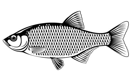 Realistic rudd fish in black and white isolated illustration, one freshwater fish on side view