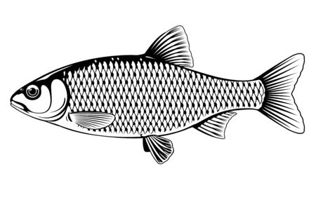 Realistic roach fish in black and white isolated illustration, one freshwater fish on side view Ilustração