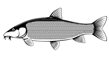 Realistic common barbel fish isolated illustration, one freshwater fish on side view Ilustração