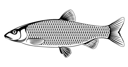 Realistic european chub fish in black and white isolated illustration, one freshwater fish on side view Ilustração
