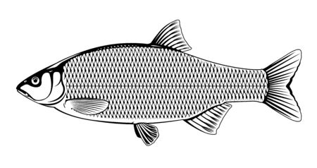 Realistic ide fish in black and white isolated illustration, one freshwater fish on side view