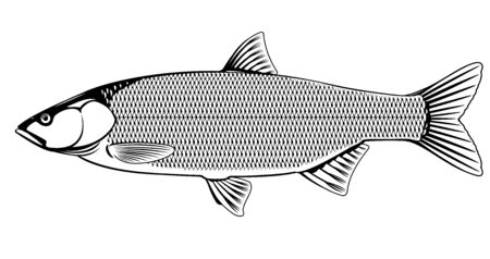 Realistic asp fish in black and white isolated illustration, one freshwater fish on side view