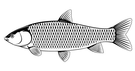 Realistic grass carp in black and white isolated illustration, one freshwater fish on side view