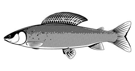 Poisson ombre réaliste en illustration isolée en noir et blanc, un poisson d'eau douce en vue latérale, un mâle adulte de poisson ombre européen, trophée de poisson de pêche à la mouche en rivière