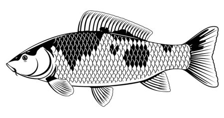Realistic koi carp fish in black and white isolated illustration, one freshwater fish on side view, decorative fish for water gardens