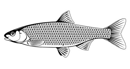 Realistic common dace fish in black and white isolated illustration, one freshwater fish on side view Ilustração
