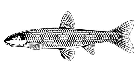 Realistic gudgeon fish in black and white isolated illustration, one freshwater fish on side view, small spotted bottom-dwelling fish