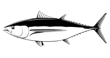 Albacore tuna fish in side view in black and white isolated illustration, realistic sea fish illustration on white background, commercial and recreational fisheries
