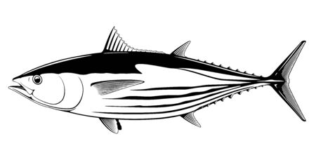 Skipjack tuna fish in side view in black and white isolated illustration, realistic sea fish illustration on white background, commercial and recreational fisheries