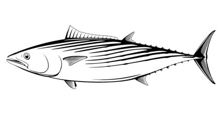 Atlantic bonito fish in side view in black and white isolated illustration, realistic sea fish illustration on white background, commercial and recreational fisheries  イラスト・ベクター素材