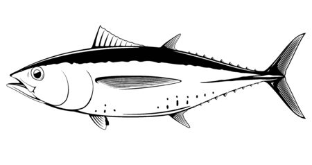 Blackfin tuna fish in side view in black and white isolated illustration, realistic sea fish illustration on white background, commercial and recreational fisheries