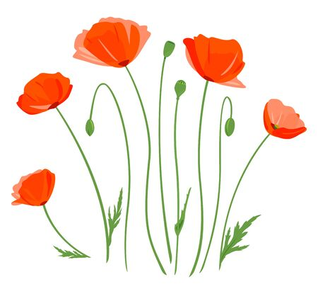 Set of five red poppy flowers with buds isolated illustration, composition for bouquet of wildflowers, illustration of common poppy