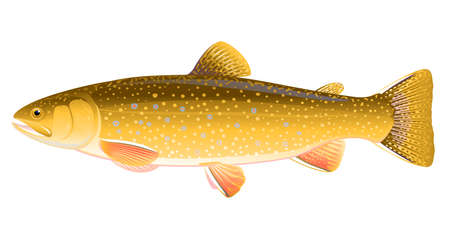 Realistic brook trout fish isolated illustration, one freshwater fish on side view Vecteurs