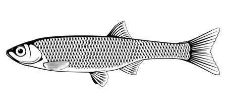 Realistic common bleak fish in black and white isolated illustration, one freshwater fish on side view Vettoriali