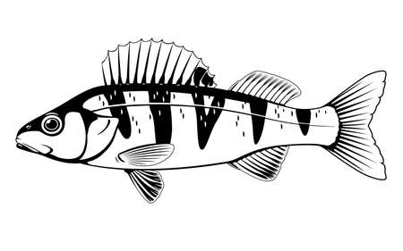 Realistic small perch fish in black and white isolated illustration, one freshwater fish on side view