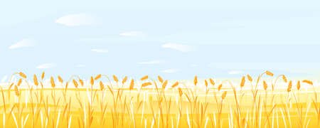 Wheat field with stalks ready for harvest on light blue sky with small white clouds, summer countryside with yellow ripe crops on side view, agricultural summer landscape, grains harvest background