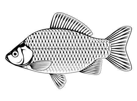 Realistic crucian carp fish in black and white isolated illustration, one freshwater fish on side view
