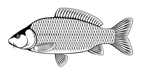 Realistic common carp fish in black and white isolated illustration, one freshwater fish on side view 向量圖像
