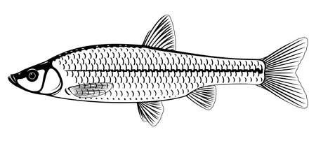 Realistic stone moroko fish in black and white isolated illustration, one small freshwater fish on side view Vektoros illusztráció