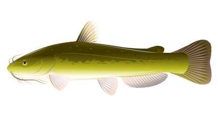 Realistic channel catfish isolated illustration, one big freshwater fish with long barbels and tail, bottom-dwelling fish