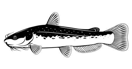 Realistic channel catfish isolated illustration in black and white isolated illustration, one big freshwater fish with long barbels and tail, bottom-dwelling fish