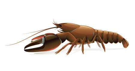 Realistic signal crayfish isolated illustration, one big freshwater North American crayfish on side view, Europe invasive species