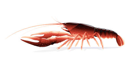 Realistic red swamp crayfish isolated illustration, one big freshwater North American crayfish on side view, Europe invasive species Vecteurs