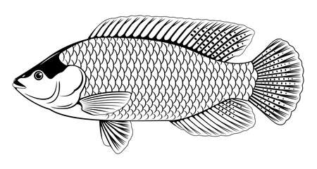 One red Nile tilapia fish in side view with big fins, high quality illustration of commercial fish, realistic freshwater red Mozambique tilapia for aquaculture