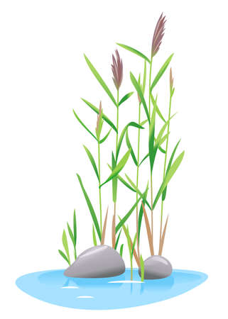 Common reed plant grow near the water isolated illustration, water plants for decorative pond in landscape design garden, green lake bulrush plants with stones in water on side view
