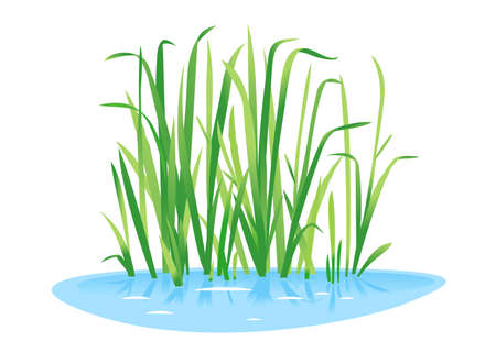 Sweet flag plant grow near the water isolated illustration, water plants for decorative pond in landscape design garden, green lake bulrush plants in water on side view