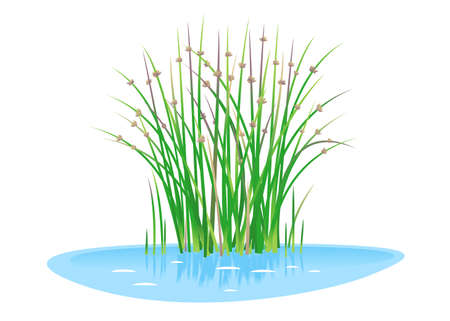 Lakeshore bulrush plant grow near the water isolated illustration, water plants for decorative pond in landscape design garden, green lake bulrush plants in water on side view, needle leaves plant Иллюстрация