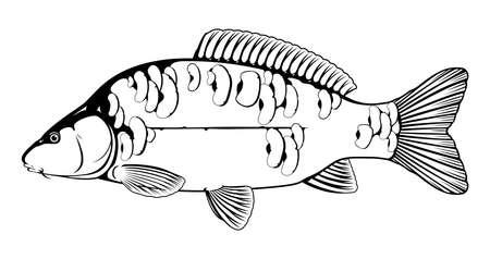 Mirror carp fish black and white illustration