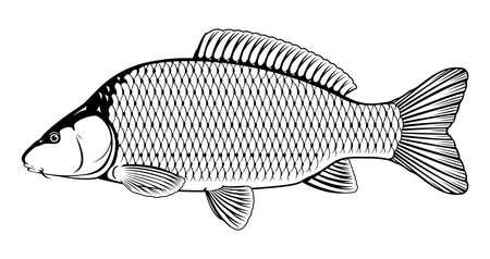 Common carp fish black and white illustration