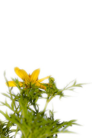 Marigold blooming within isolate photo