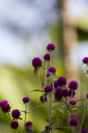 many Globe amaranth in garden photo