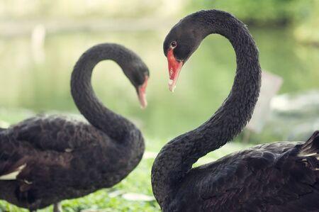 Black swans in love