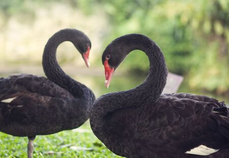 Black swans in love