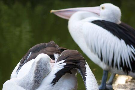 Pelicans Stock Photo - 7995113