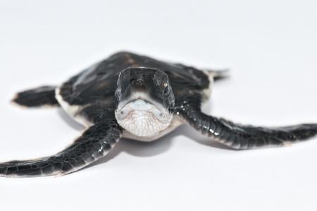 Little Sea turtle Stock Photo