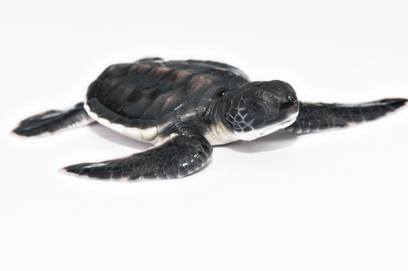 reptiles: Little Sea turtle Stock Photo