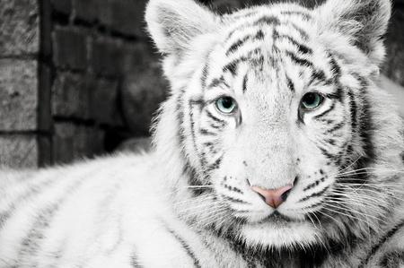 tigress: White Tiger