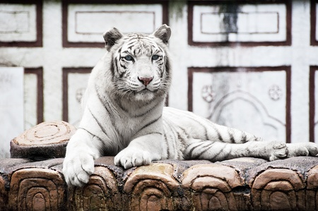 White Tiger Stock Photo - 8834200