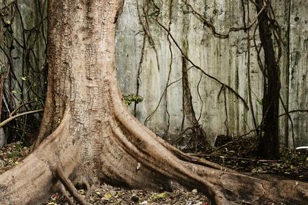 tronco: Gran árbol viejo