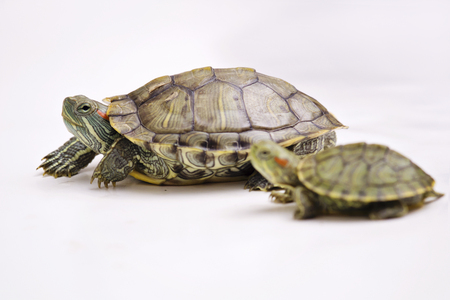 reptilian: The Brazilian Red eared slider turtle